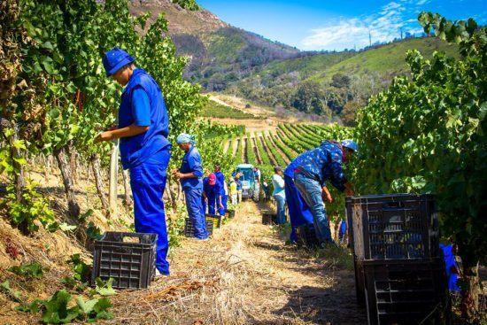 Trabalhadores em Groot Constantia