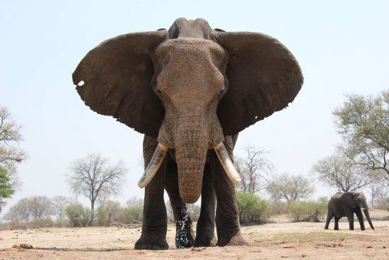 elephant bull head on