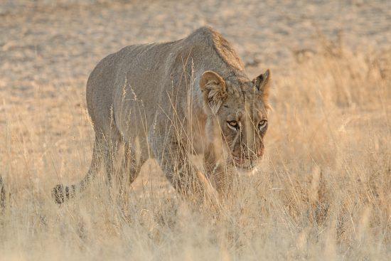 Leoa caminha desolada pela savana