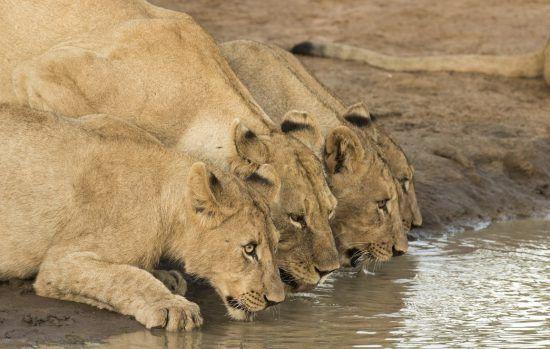 Leoas em Madikwe fazem pausa para matar a sede em charco