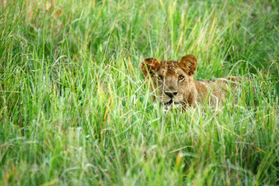 Leão à espreita no meio de vegetação alta