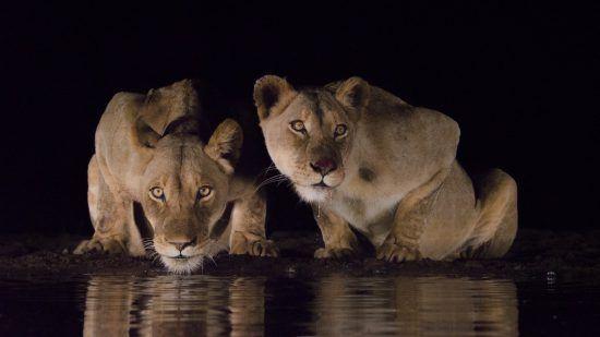 Löwinnen bei Nacht am Wasserloch