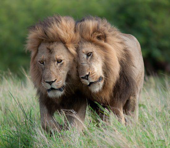 Leão posiciona cabeça no ombro de outro leão enquanto caminham pela mata