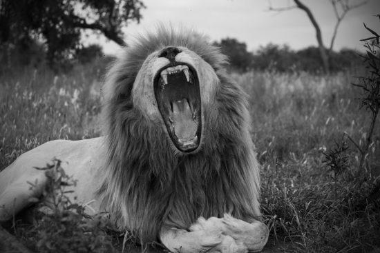 Retrato em branco e preto de leão rugindo