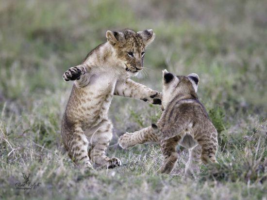 Filhotes de leão brincam no gramado como se estivessem prestes a se abraçar