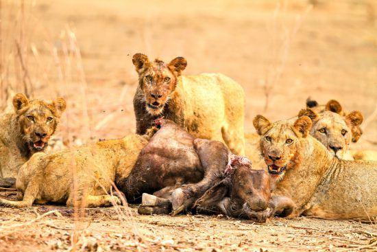 Leões ensanguentados fitam câmera enquanto devoram presa