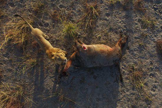 Foto aérea de leão após uma caçada bem sucedida