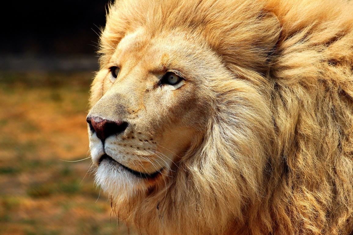 Leão de perfil