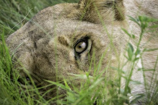 Close up de olho de leão