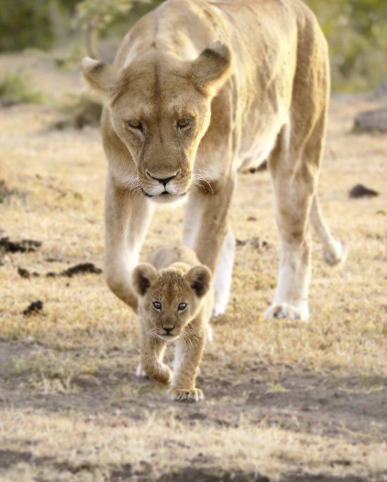 Leoa acompanha filhote em caminhada