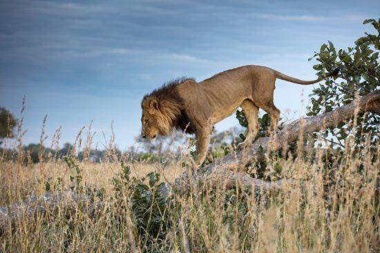 Leão desce árvore