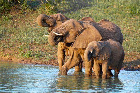 elephants drinking at Thanda Luxury Safari Lodge