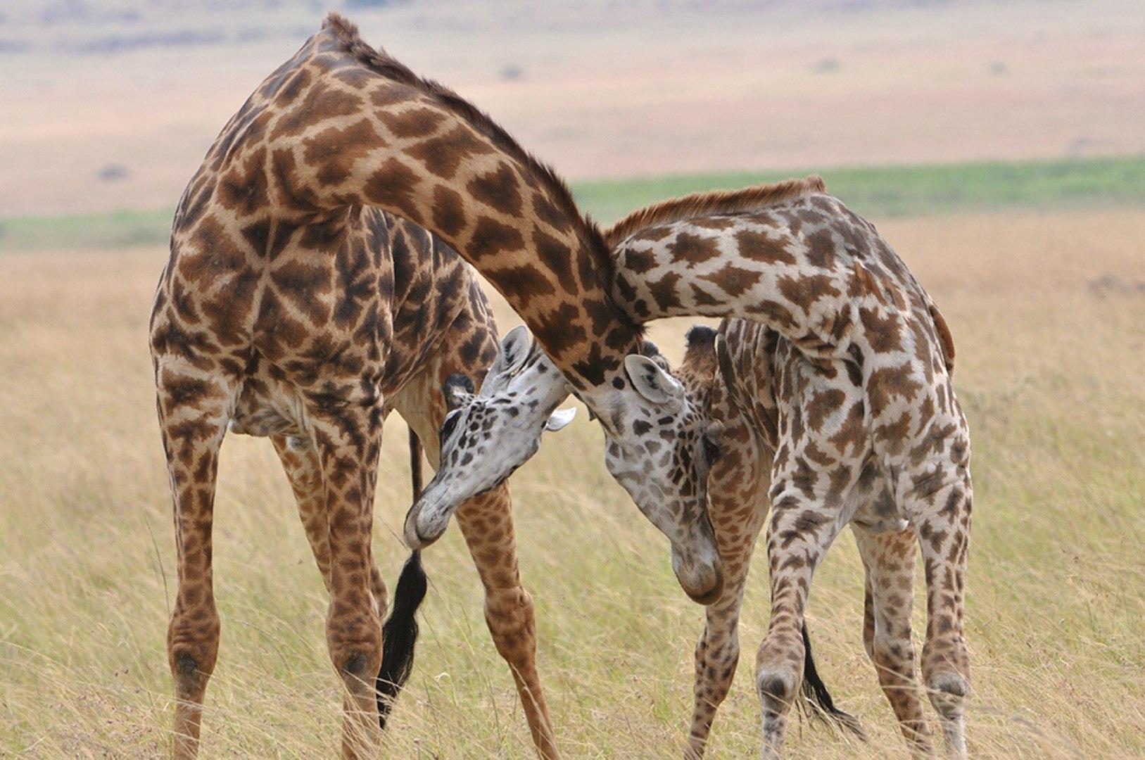 Streitende Giraffen