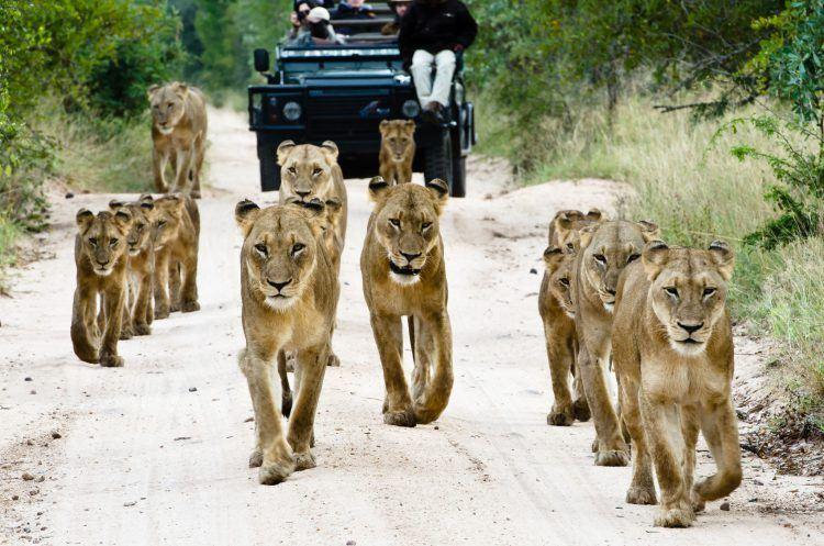 Ein Löwenrudel mit Nachwuchs läuft einen Sandweg entlang - FAQ Krüger Nationalpark