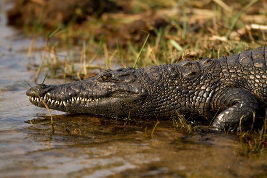 Crocodile walking into water