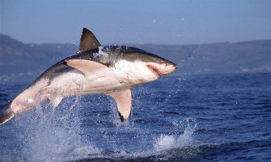 Ein Weißer Hai springt aus dem Wasser