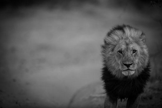 Leão fita câmera em retrato em branco e preto