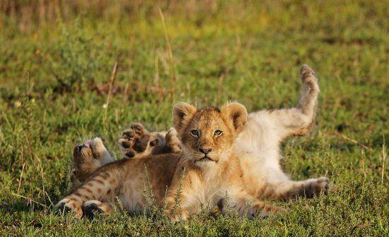 Filhotes de leão brincam em gramado
