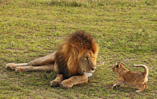 Leão olha com seriedade para filhote