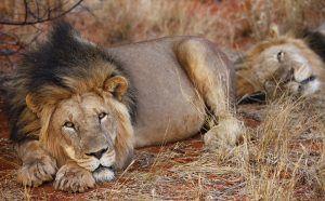 Lions du Kalahari allongés dans la réserve de Tswalu, Kalahari, Afrique du Sud