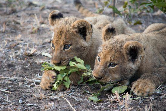 Leões filhotes mordiscam vegetação