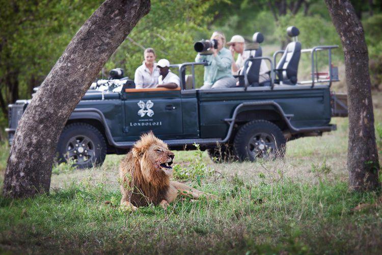 Ein Löwe liegt nach dem Fressen unter Bäumen und wird von Urlaubern beobachtet