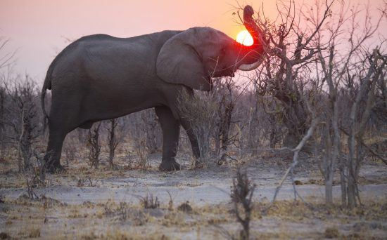 Elephant lifting trunk to the sunset