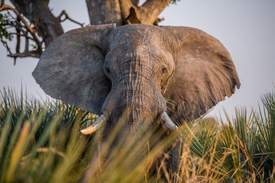 Beautiful elephant and their tusks