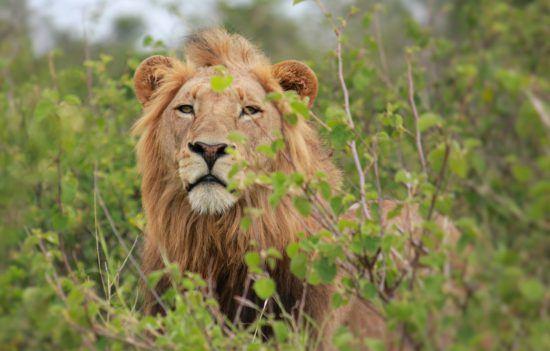 Leão observa por entre vegetação
