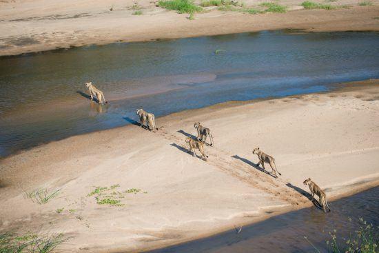 Alcateia de leões atravessa rio