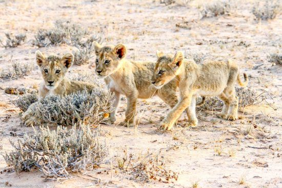 Filhotes de leão caminham por terreno árido