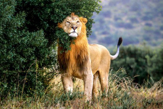A male lion leaving his scent on a bush in Addo Elephant National Park in Rhino Africa's Complete Guide