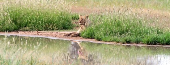 Leão descansa à beira d'água