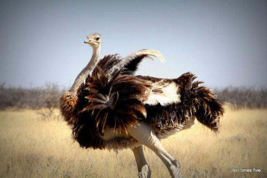 ostrich flapping its wings