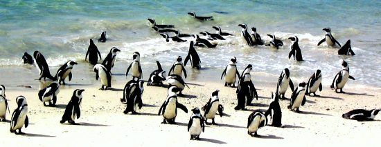 Penguins at Boulder´s Beach