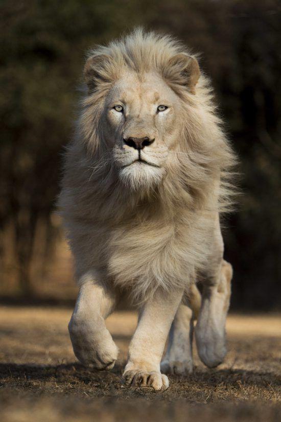 Leão albino olha em direção à câmera enquanto caminha