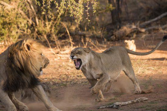 Leoa avança em leão