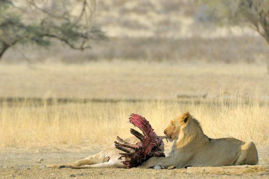 Leão degusta carcaça