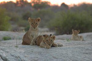 Lionceaux au petit matin au Parc Kruger
