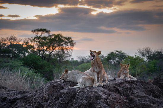 Leões rugem e descansam em cima de pedra