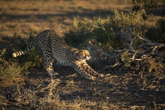 Cheetah stretching in the morning sun, South Africa