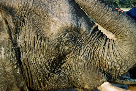 A close-up of an Elephant