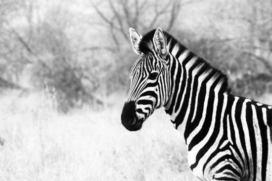 Retrato de zebra em preto e branco