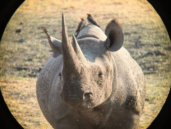 Rinoceronte observa horizonte