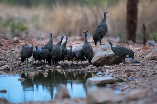 Guinea fowl at Little Ongava in Namibia