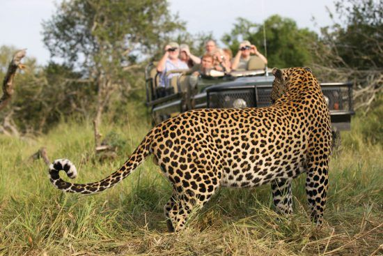 Leopard sightings at Mala Mala Game Reserve