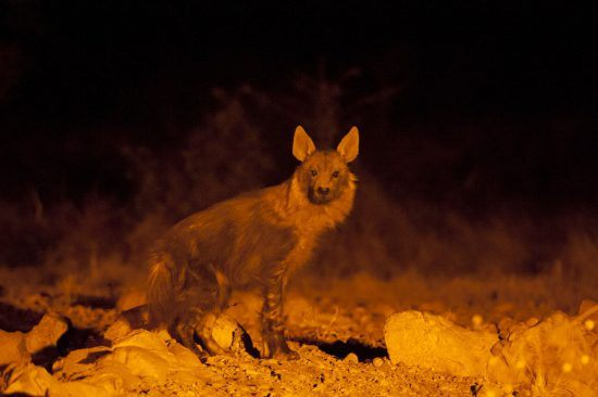 Hyena spotted with spotlight at Ongava Tented Camp in Namibia