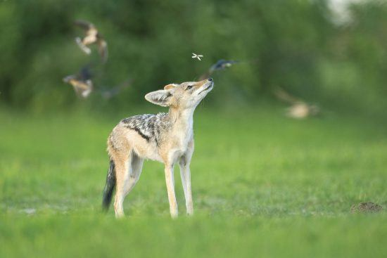A jackal admiring birds at the Sabi Sabi Bush Lodge