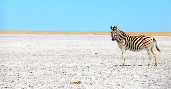 zebra roaming makgadikgadi pans botswana