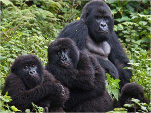Photo de groupe de gorilles des montagnes aux Virungas